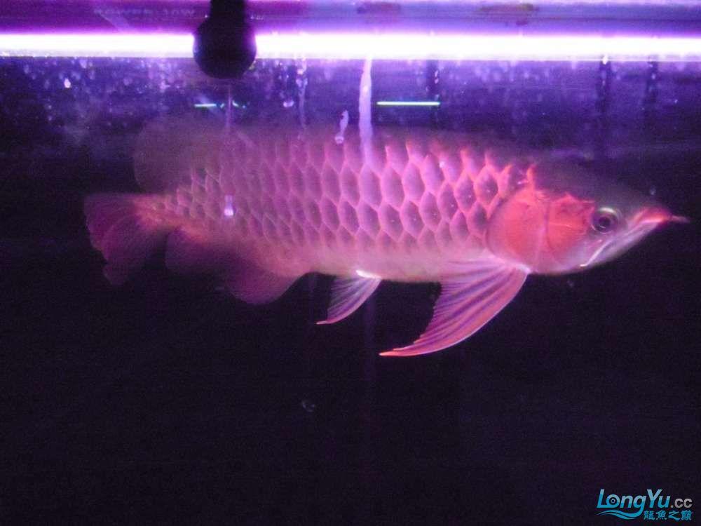 5060公分红龙鱼有长沙哪个水族店卖斑马鸭嘴意请联系13371490056 长沙龙鱼论坛 长沙龙鱼第10张