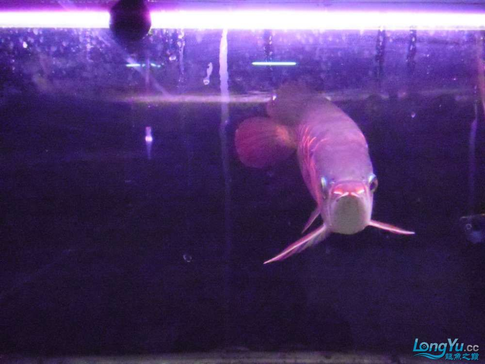 5060公分红龙鱼有长沙哪个水族店卖斑马鸭嘴意请联系13371490056 长沙龙鱼论坛 长沙龙鱼第11张
