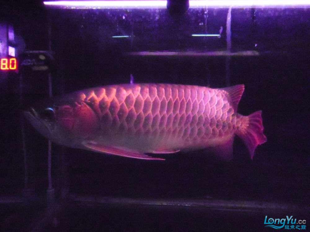 5060公分红龙鱼有长沙哪个水族店卖斑马鸭嘴意请联系13371490056 长沙龙鱼论坛 长沙龙鱼第13张