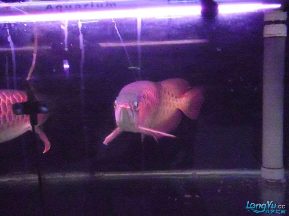 5060公分红龙鱼有长沙哪个水族店卖斑马鸭嘴意请联系13371490056 长沙龙鱼论坛 长沙龙鱼第16张