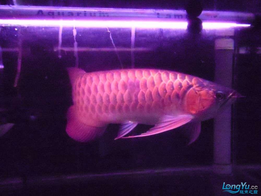 5060公分红龙鱼有长沙哪个水族店卖斑马鸭嘴意请联系13371490056 长沙龙鱼论坛 长沙龙鱼第24张