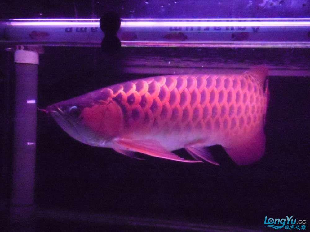 5060公分红龙鱼有长沙哪个水族店卖斑马鸭嘴意请联系13371490056 长沙龙鱼论坛 长沙龙鱼第32张