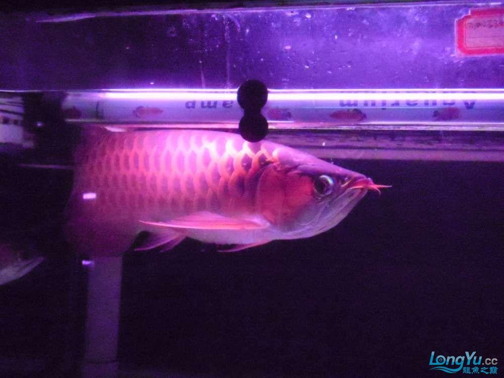 5060公分红龙鱼有长沙哪个水族店卖斑马鸭嘴意请联系13371490056 长沙龙鱼论坛 长沙龙鱼第34张