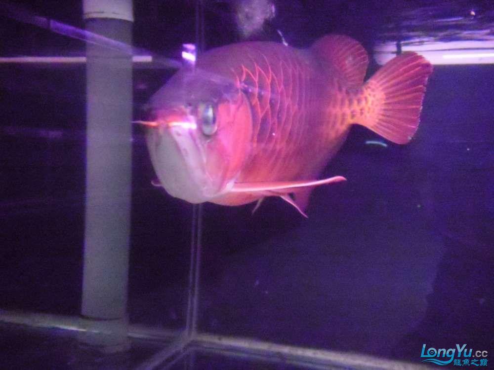 5060公分红龙鱼有长沙哪个水族店卖斑马鸭嘴意请联系13371490056 长沙龙鱼论坛 长沙龙鱼第41张