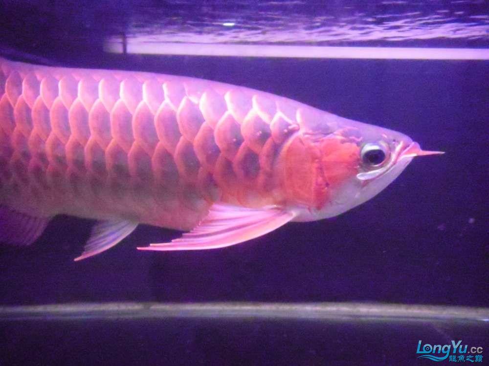 5060公分红龙鱼有长沙哪个水族店卖斑马鸭嘴意请联系13371490056 长沙龙鱼论坛 长沙龙鱼第42张