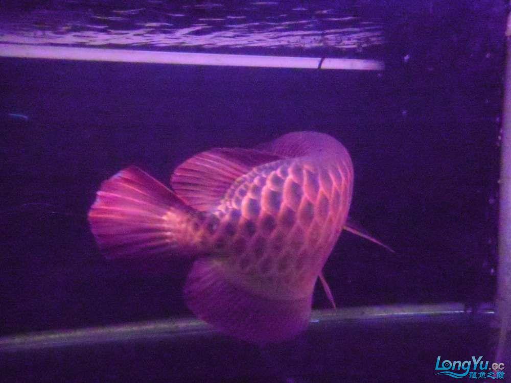 5060公分红龙鱼有长沙哪个水族店卖斑马鸭嘴意请联系13371490056 长沙龙鱼论坛 长沙龙鱼第43张