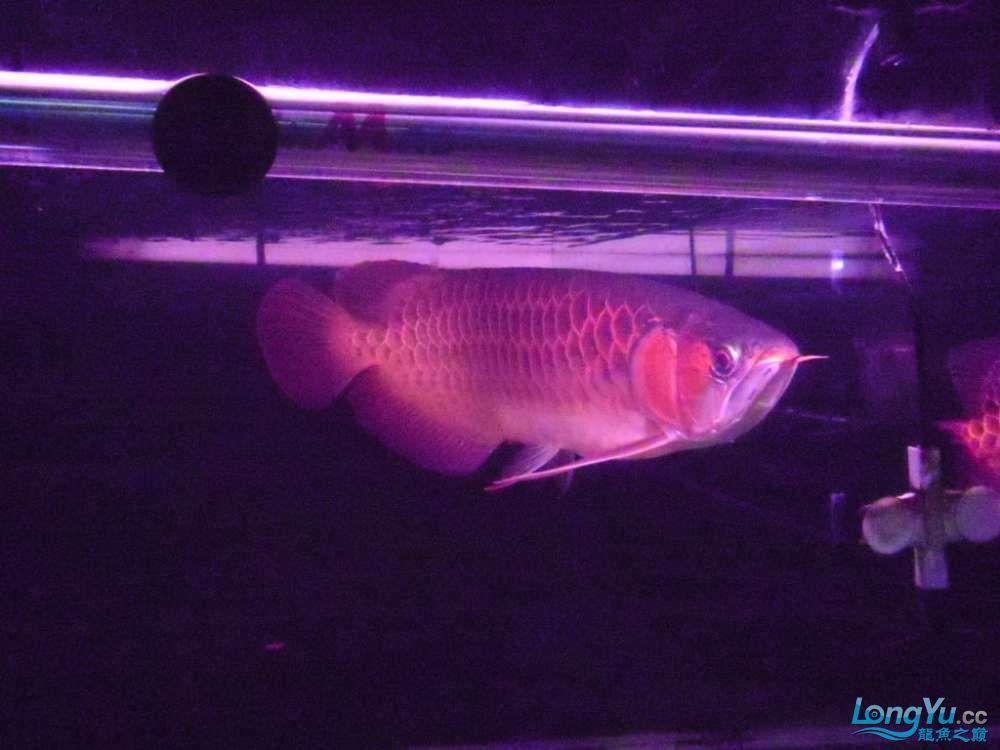 5060公分红龙鱼有长沙哪个水族店卖斑马鸭嘴意请联系13371490056 长沙龙鱼论坛 长沙龙鱼第47张