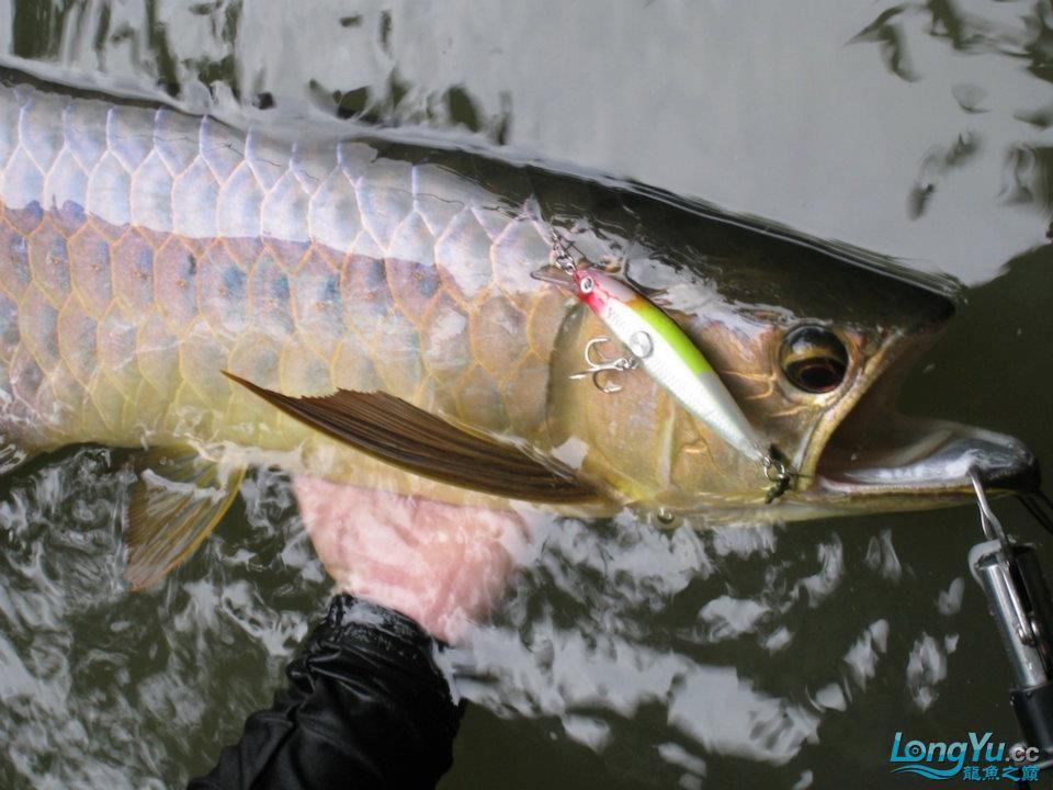 强人在丛林湖泊中钓到一条存野生蓝底红尾金龙鱼(目测70CM以上)。 哈尔滨水族批发市场 哈尔滨龙鱼第3张