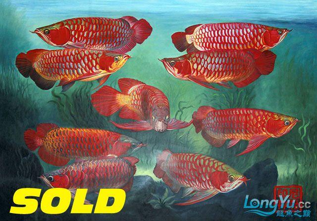 印度龙金龙鱼油画2x1.5米:9英皇红人! !图片