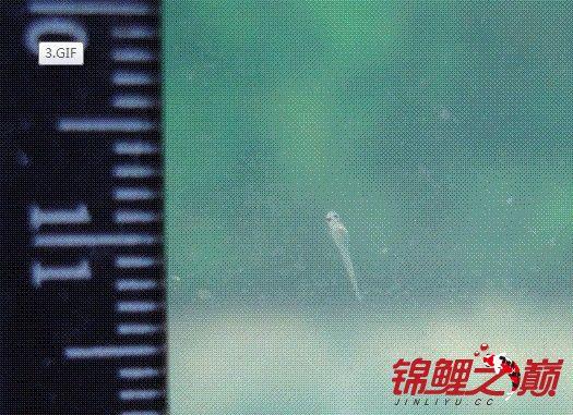 锦鲤2.jpg