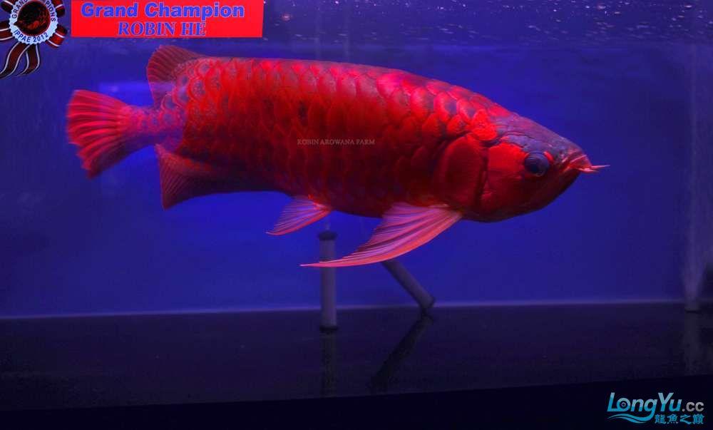 洛宾红龙 2012年印尼雅加达国际龙鱼大赛全场总冠军
