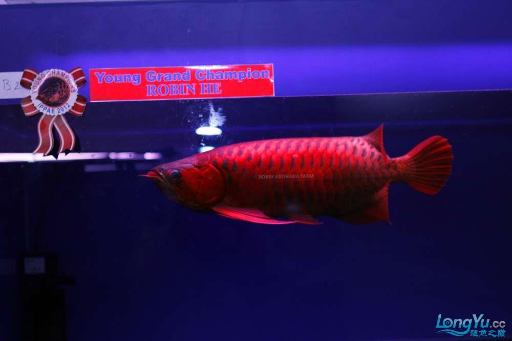 洛宾红龙 2012年印尼雅加达国际龙鱼大赛中鱼组总冠军