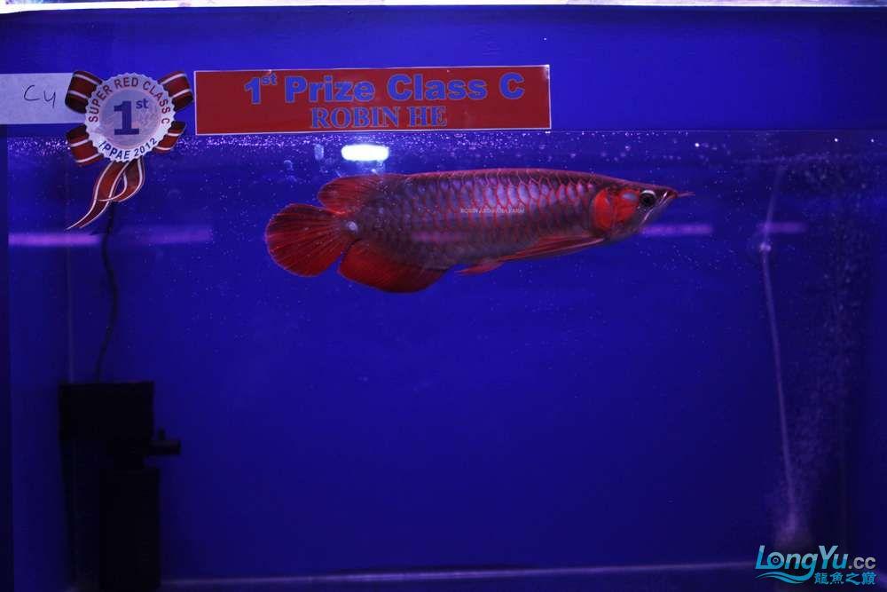 洛宾红龙 2012年印尼雅加达国际龙鱼大赛小鱼组冠军