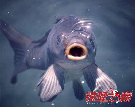 锦鲤鱼(香港).jpg