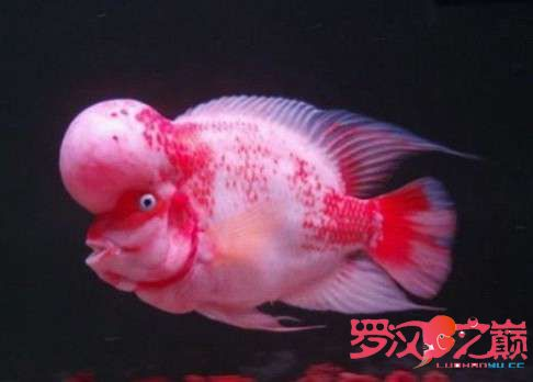 雪山罗汉鱼1.jpg