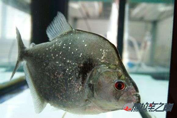 看人家这印第安武士养的真绝了不知什么价格现在 南充龙鱼论坛 南充水族批发市场第8张