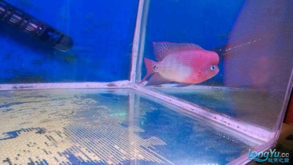 我家的几条鱼 元宝凤凰鱼相关 元宝凤凰鱼第10张