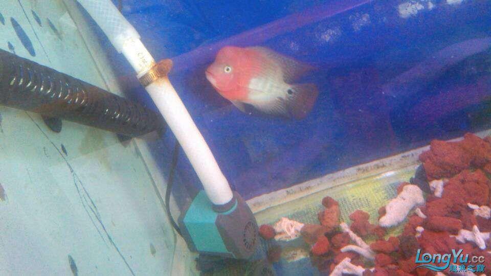 我家的几条鱼 元宝凤凰鱼相关 元宝凤凰鱼第8张