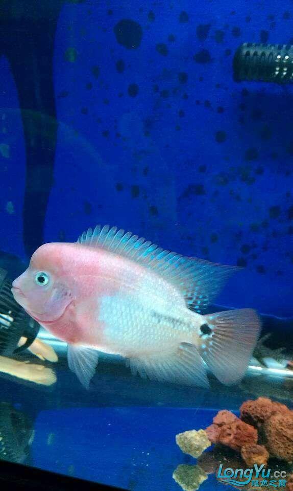 我家的几条鱼 元宝凤凰鱼相关 元宝凤凰鱼第5张