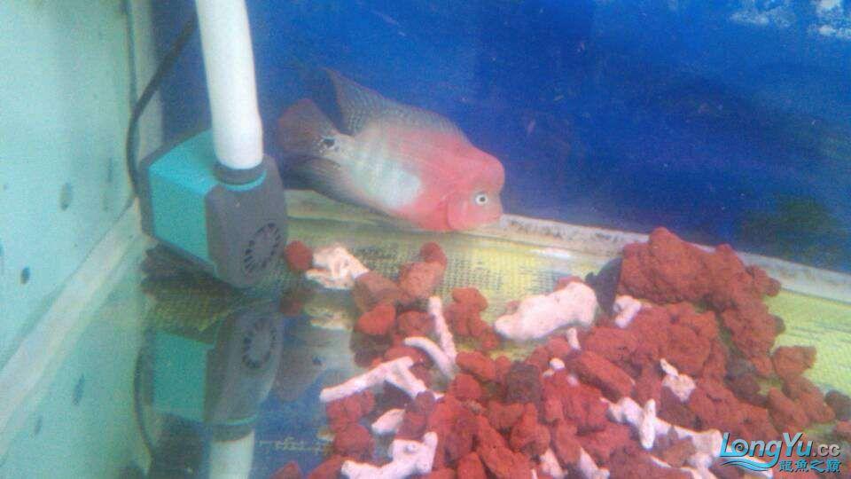 我家的几条鱼 元宝凤凰鱼相关 元宝凤凰鱼第4张