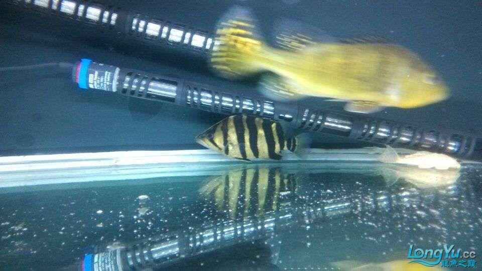 我家的几条鱼 元宝凤凰鱼相关 元宝凤凰鱼第3张