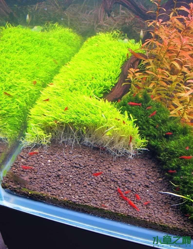 120cm荷兰式与德国式结合的水长沙虎鱼草造景 长沙龙鱼论坛 长沙龙鱼第16张