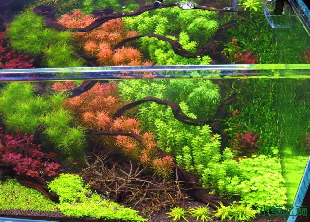 120cm荷兰式与德国式结合的水长沙虎鱼草造景 长沙龙鱼论坛 长沙龙鱼第33张