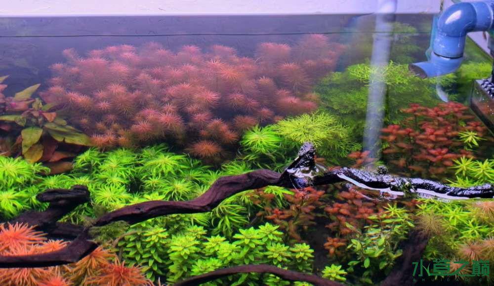 120cm荷兰式与德国式结合的水长沙虎鱼草造景 长沙龙鱼论坛 长沙龙鱼第77张
