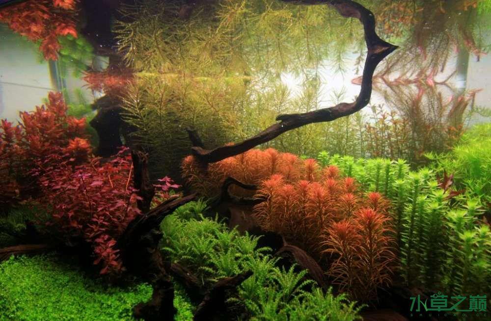 120cm荷兰式与德国式结合的水长沙虎鱼草造景 长沙龙鱼论坛 长沙龙鱼第90张