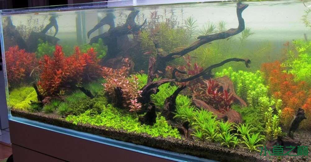 120cm荷兰式与德国式结合的水长沙虎鱼草造景 长沙龙鱼论坛 长沙龙鱼第94张