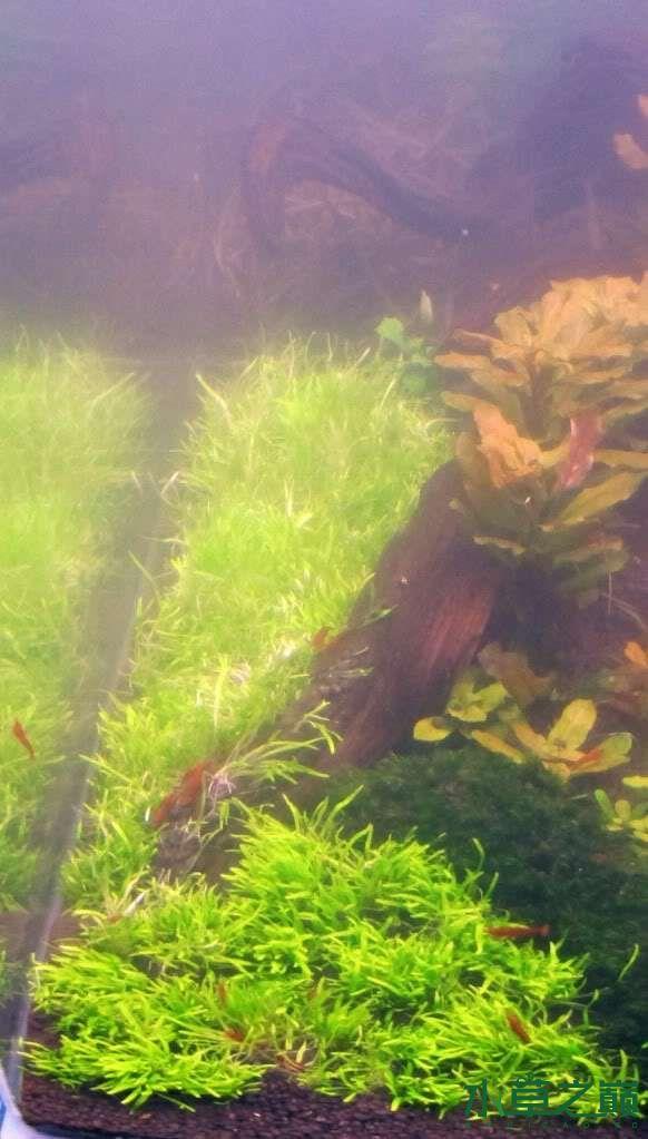 120cm荷兰式与德国式结合的水长沙虎鱼草造景 长沙龙鱼论坛 长沙龙鱼第111张