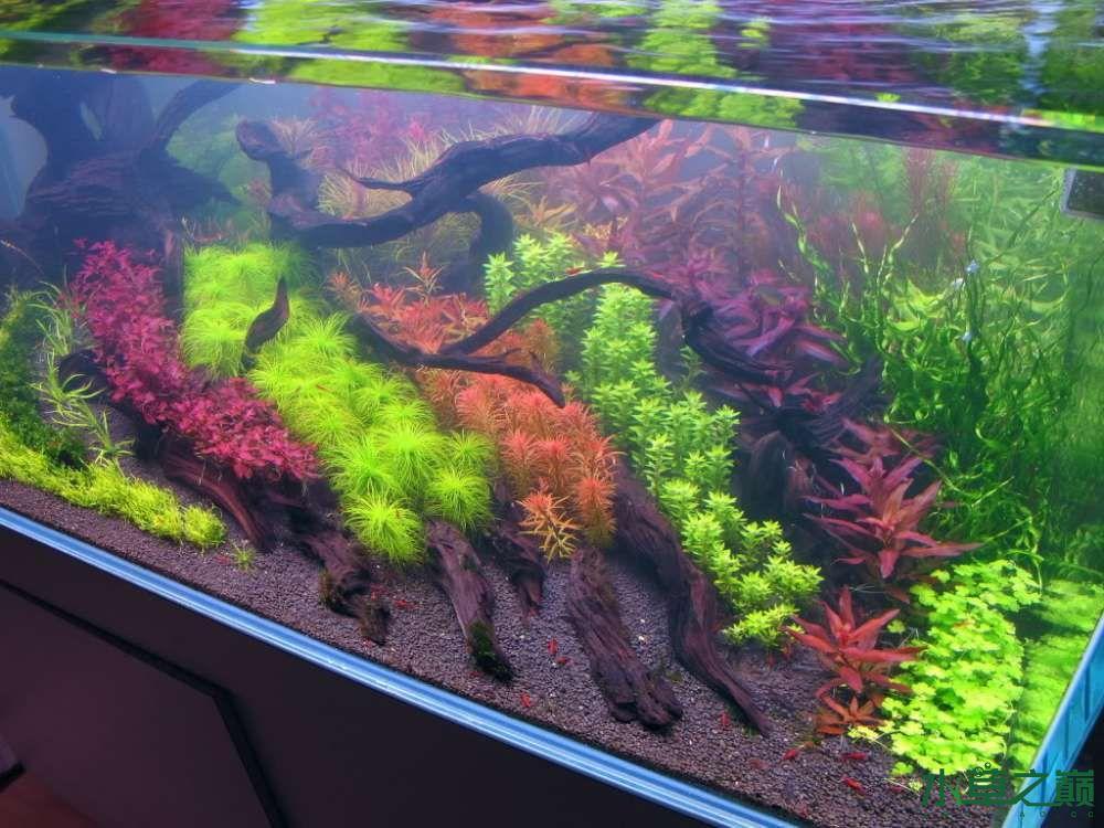 120cm荷兰式与德国式结合的水长沙虎鱼草造景 长沙龙鱼论坛 长沙龙鱼第130张