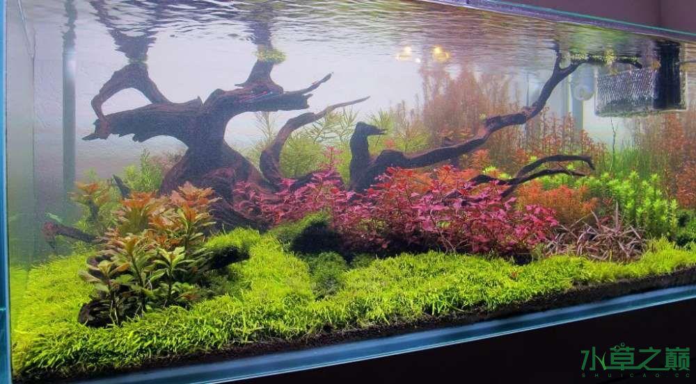 120cm荷兰式与德国式结合的水长沙虎鱼草造景 长沙龙鱼论坛 长沙龙鱼第131张