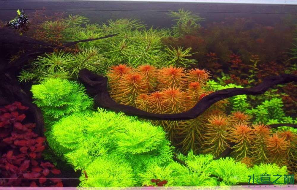 120cm荷兰式与德国式结合的水长沙虎鱼草造景 长沙龙鱼论坛 长沙龙鱼第139张