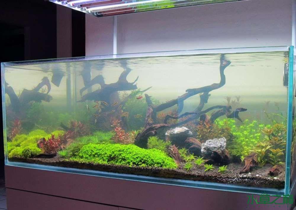 120cm荷兰式与德国式结合的水长沙虎鱼草造景 长沙龙鱼论坛 长沙龙鱼第154张