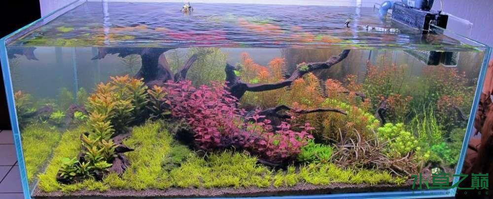 120cm荷兰式与德国式结合的水长沙虎鱼草造景 长沙龙鱼论坛 长沙龙鱼第155张