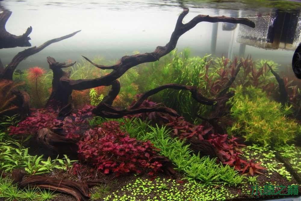 120cm荷兰式与德国式结合的水长沙虎鱼草造景 长沙龙鱼论坛 长沙龙鱼第157张
