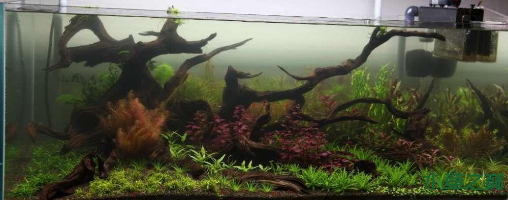 120cm荷兰式与德国式结合的水长沙虎鱼草造景 长沙龙鱼论坛 长沙龙鱼第163张