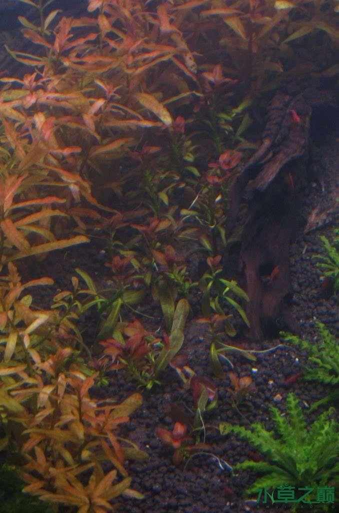 120cm荷兰式与德国式结合的水长沙虎鱼草造景 长沙龙鱼论坛 长沙龙鱼第178张
