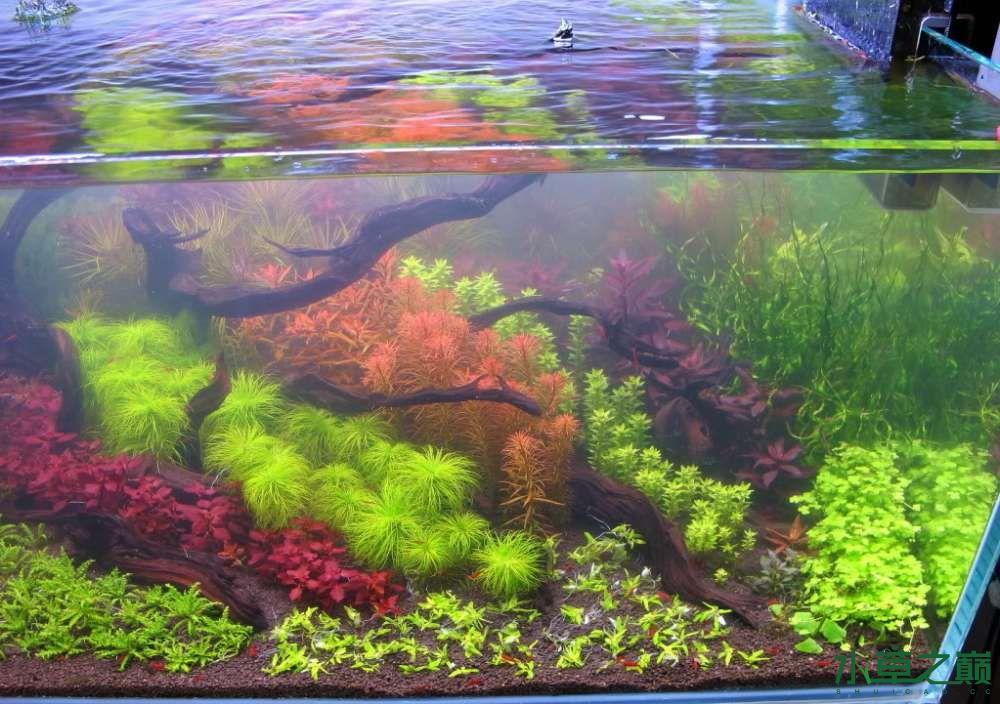 120cm荷兰式与德国式结合的水长沙虎鱼草造景 长沙龙鱼论坛 长沙龙鱼第189张