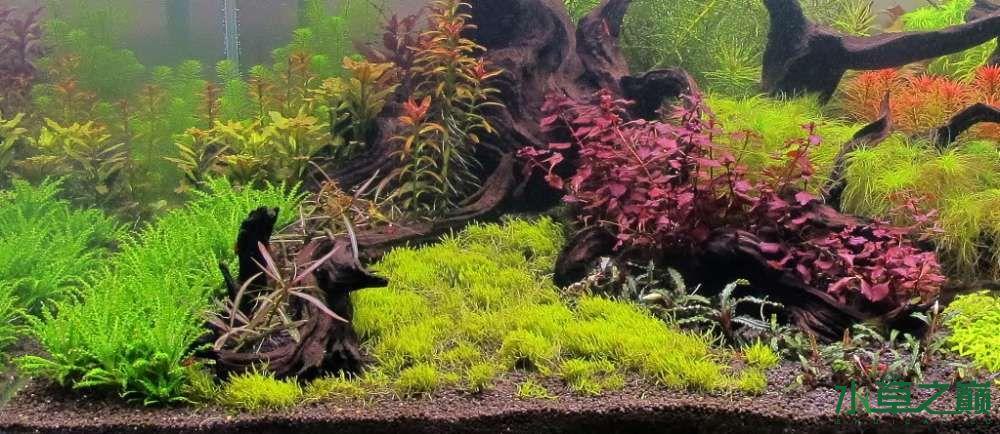 120cm荷兰式与德国式结合的水长沙虎鱼草造景 长沙龙鱼论坛 长沙龙鱼第256张