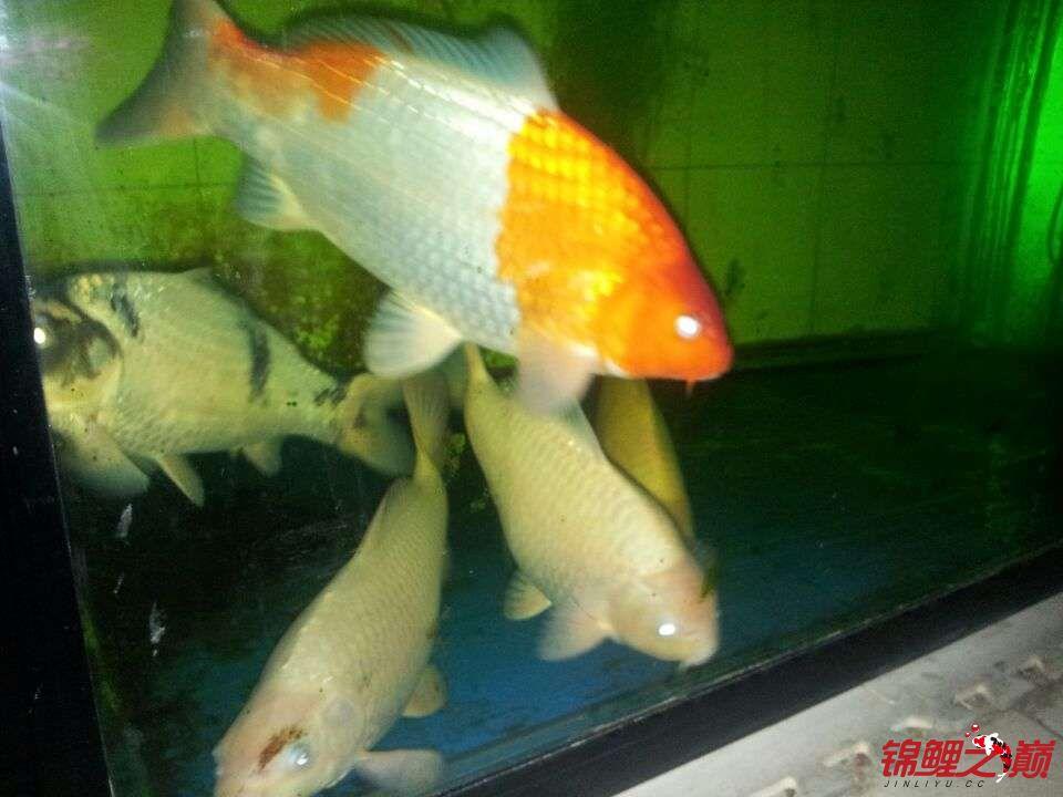 合缸遇到奇怪问题 乌鲁木齐龙鱼论坛 乌鲁木齐龙鱼第1张