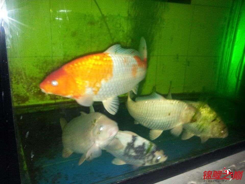 合缸遇到奇怪问题 乌鲁木齐龙鱼论坛 乌鲁木齐龙鱼第2张