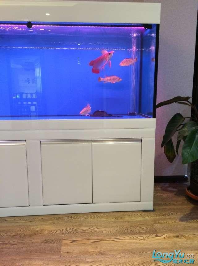 请各位前辈帮我看下昨天请的龙和他的小伙伴 元宝凤凰鱼相关 元宝凤凰鱼第2张