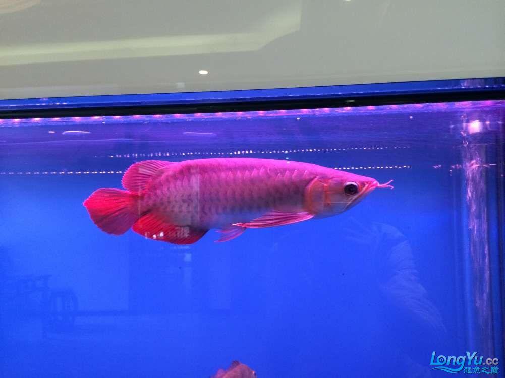 请各位前辈帮我看下昨天请的龙和他的小伙伴 元宝凤凰鱼相关 元宝凤凰鱼第3张