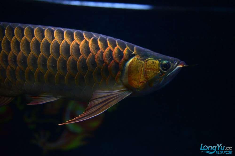 还是赤血还有他的伙伴 乌鲁木齐龙鱼论坛 乌鲁木齐龙鱼第5张