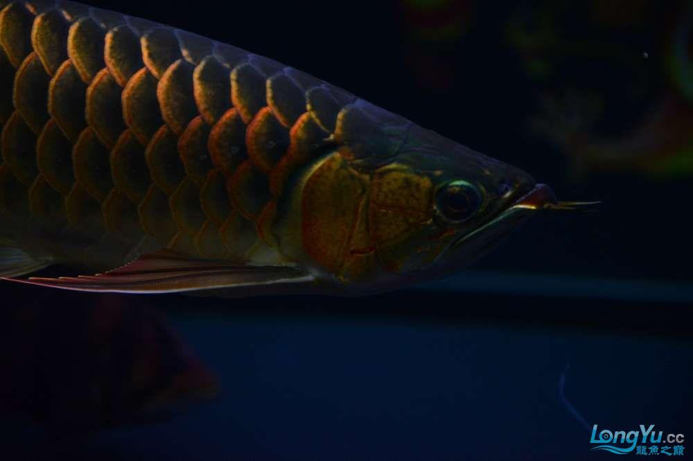 还是赤血还有他的伙伴 乌鲁木齐龙鱼论坛 乌鲁木齐龙鱼第12张