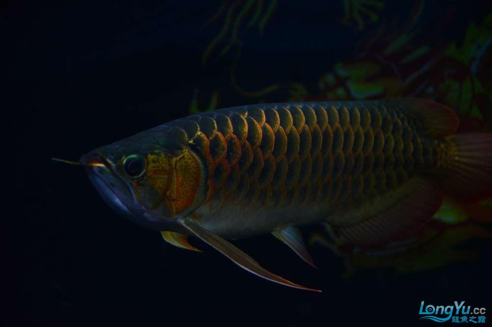 还是赤血还有他的伙伴 乌鲁木齐龙鱼论坛 乌鲁木齐龙鱼第15张