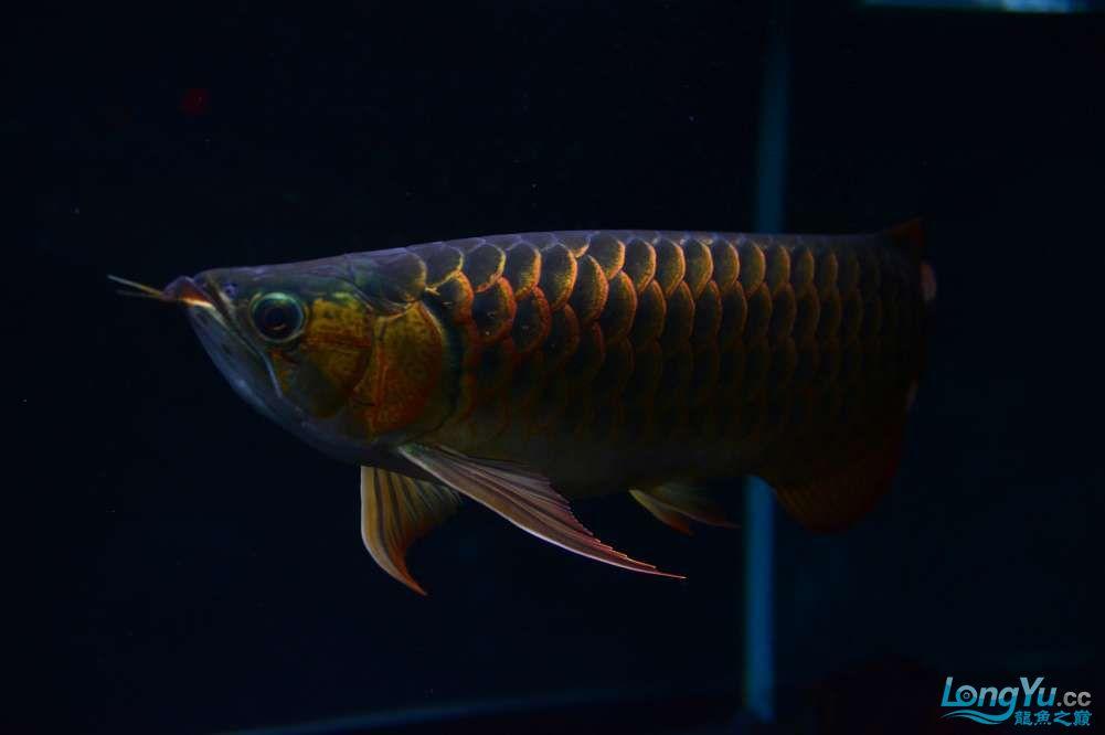 还是赤血还有他的伙伴 乌鲁木齐龙鱼论坛 乌鲁木齐龙鱼第16张