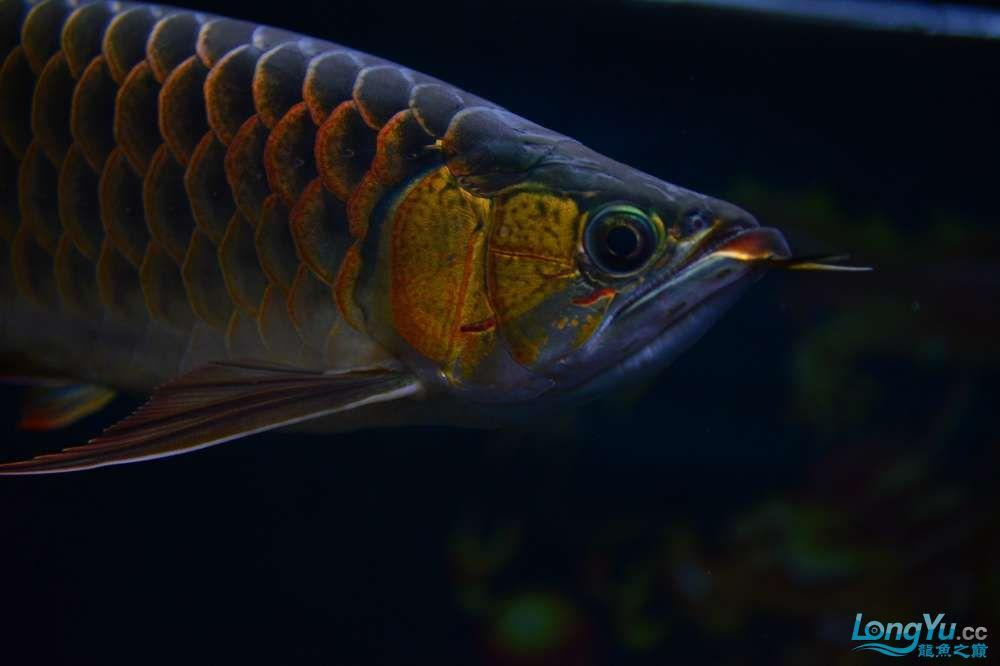 还是赤血还有他的伙伴 乌鲁木齐龙鱼论坛 乌鲁木齐龙鱼第19张